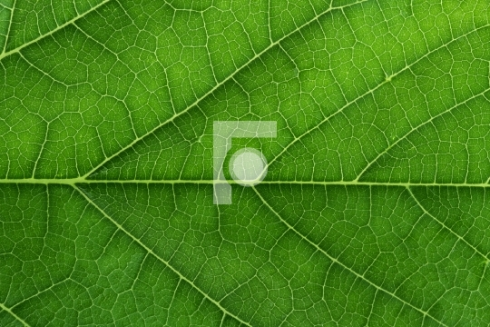 Fresh Green Leaf Texture Closeup