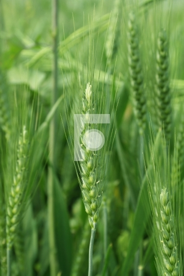 Green Wheat Closeup Free Stock Photo