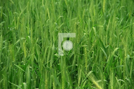 Green Wheat Field / Farm in India Free Photo