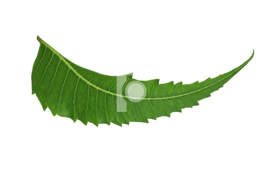 Indian Herbal / Medicinal Leaf - Neem