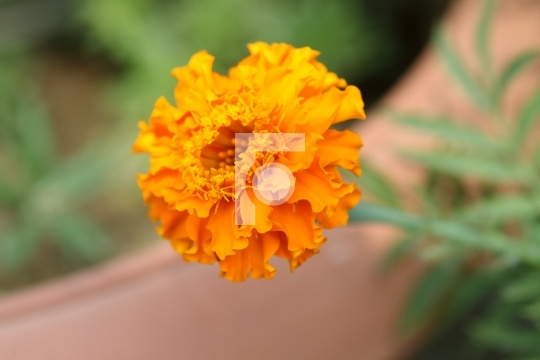 Marigold Flower Closeup High Resolution Free Photo