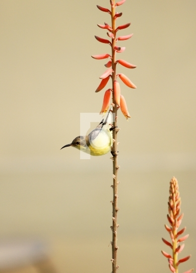 Yellow Sunbird Wildlife on Aloe Vera Plant Flower